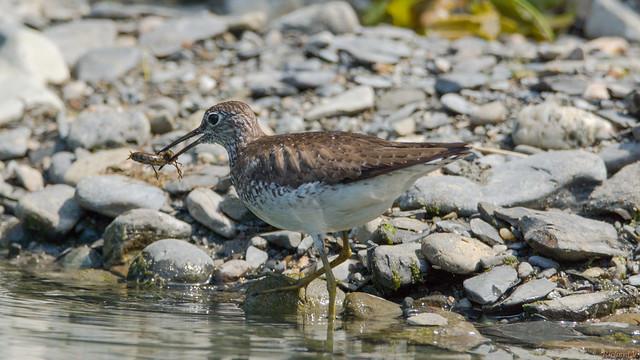 Bécasseau à long bec, long-billed sandpiper, P.Q., Canada - 6304