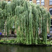 Weeping Willow (Salix x Sepulcralis)