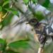 Tailorbird in tree