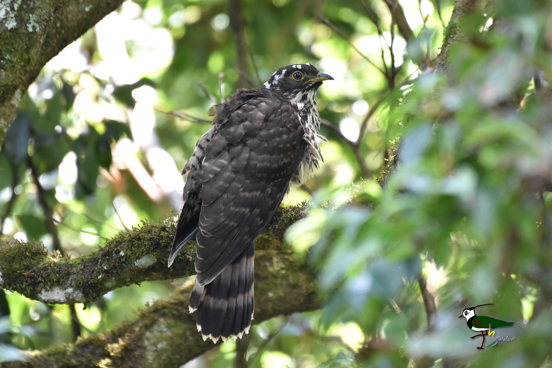 Large_Hawk-Cuckoo_1756