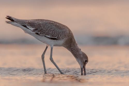 willet western bird birding birdwatching birds sigma150600sport sigma shorebird stoneharbor stoneharborpoint nature nikond500 nikon newjersey