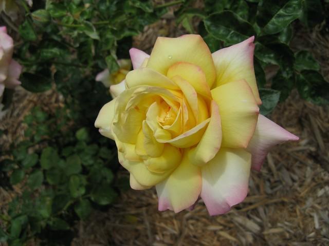 Rose - -001