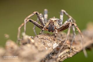 Nursery web spider (Pisauridae) - DSC_2709