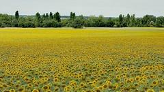Le temps des tournesols en Charente-Maritime 😉