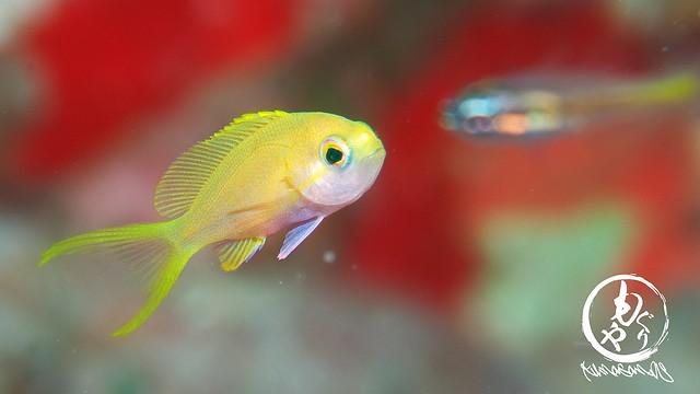 スミレナガハナダイ幼魚ちゃんはまだまだちっこカワイイ子います♪