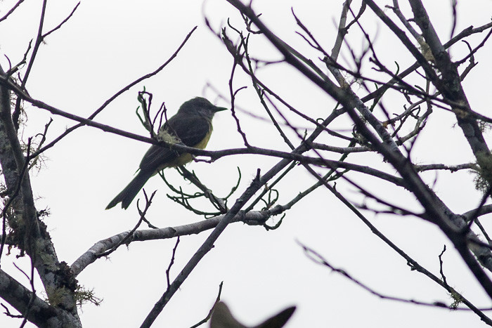 Another flycatcher