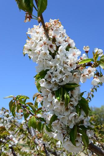 DAV_0659 Cherry blossoms