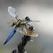 六斑曲緣蜻 by Pangkin