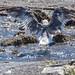 2018/08/13 (月) - 13:33 - 川のように水が流れ込んでいる場所があって、ウミネコが水浴びに来ていました。きっとあまりの暑さに冷たい水が気持ちいいのでしょう。