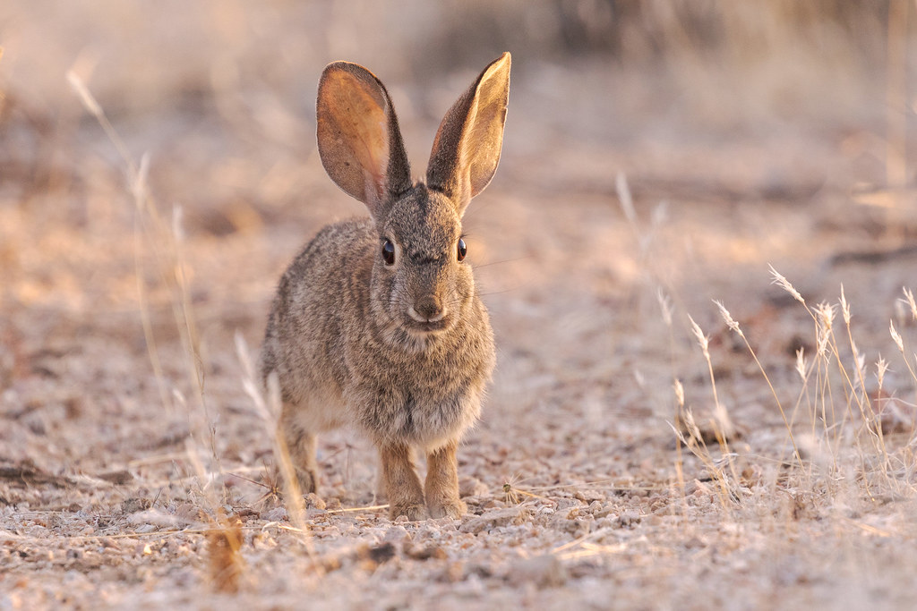 A desert cottontail looks straight at me as it is partially lit by the rising sun at the trailhead to Brown's Ranch in McDowell Sonoran Preserve