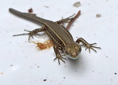 shower lizard - Photo of Curac