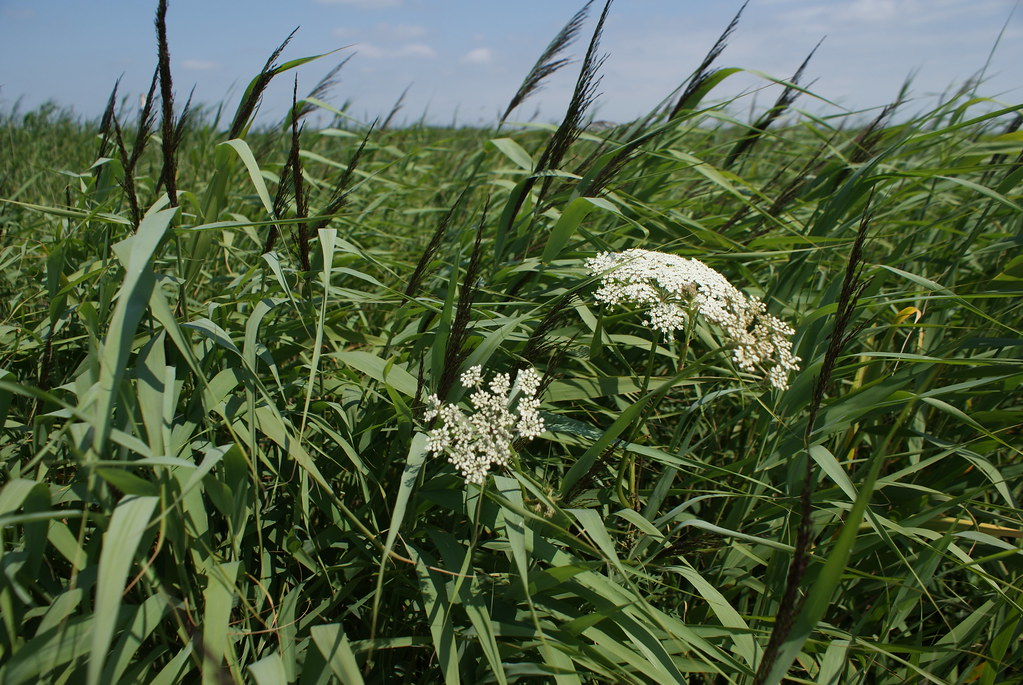 Des roseaux, des iris, des lys, des plantes carnivores, des mousses à découvrir dans les polders et sur l'eau.
