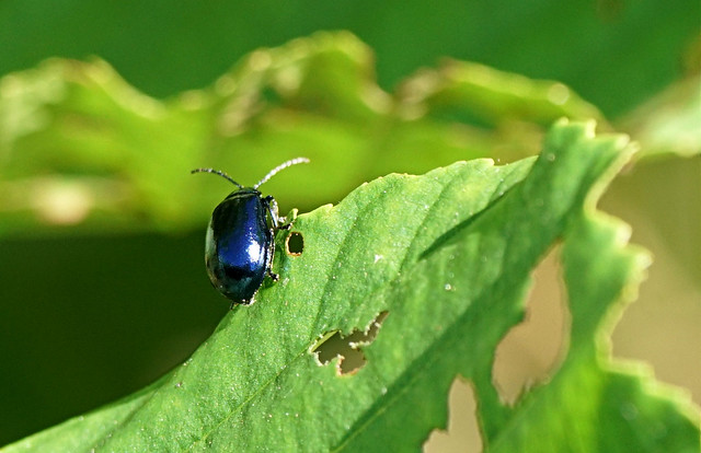 Leaf beetle, Sony ILCE-7RM2, Sony 70-300mm F4.5-5.6 G SSM (SAL70300G)