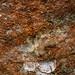 Lichen sp. - Belonia nidarosiensis