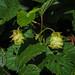 Hop - Humulus lupulus