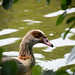 Egyptian Goose through the Leaves