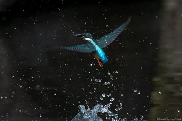 20180811-kingfisher-DSC_7243
