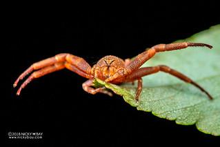 Crab spider (Cyriogonus sp.) - DSC_6743
