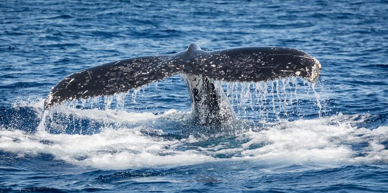 Snorkeling avec les baleines à bosse, au large de St Gilles