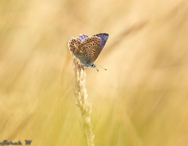 Common Blue in the sunshine