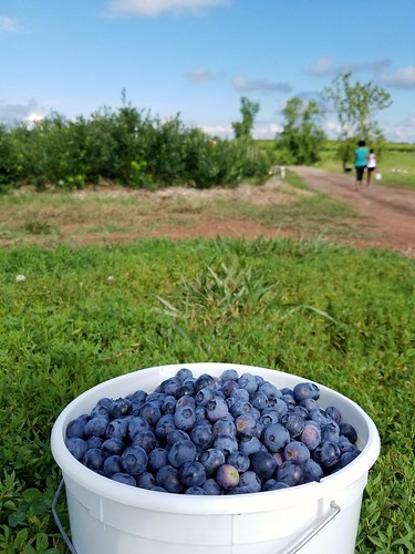First Blueberry Picking of the Year