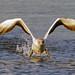 Australasian gannet. (Morus serrator) by Bernard Spragg