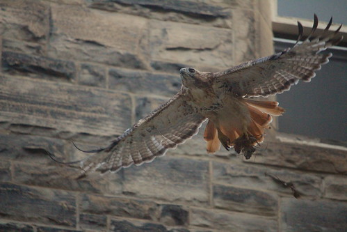 Red-tailed Hawk and quarry