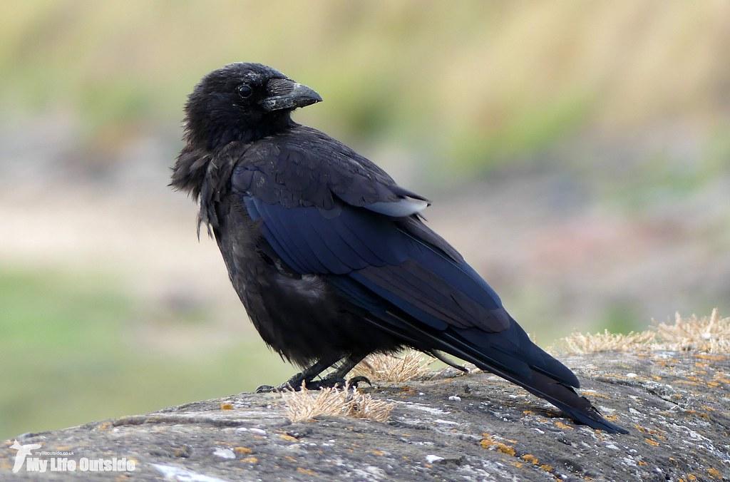 P1170727 - Crow