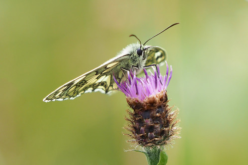 Marbled White........