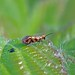 Micropterix tunbergella, Gait Barrows, Lancashire, England