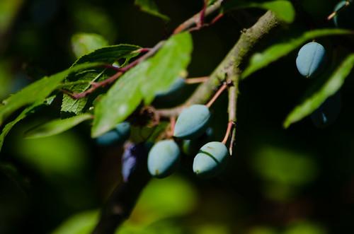 Greens: ripening damsons