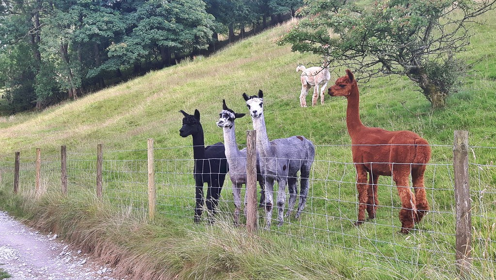 Five alpacas in a field staring at the camera.