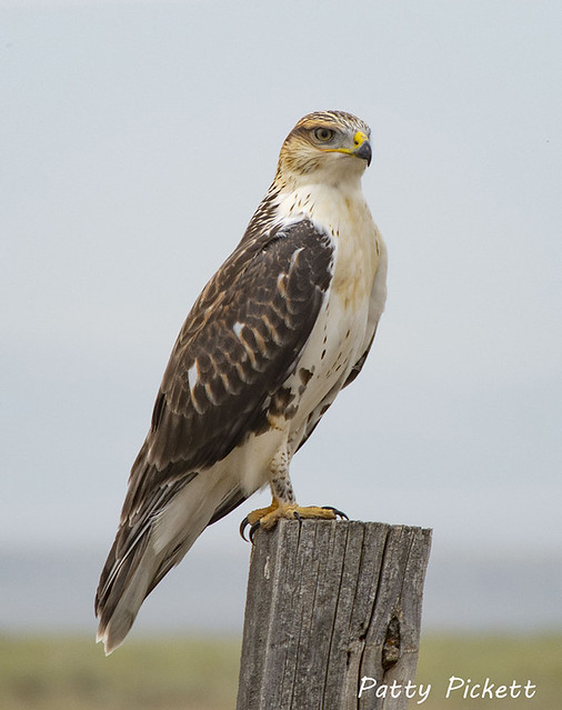 Red Rock Wildlife Management Area-ferruginous hawk