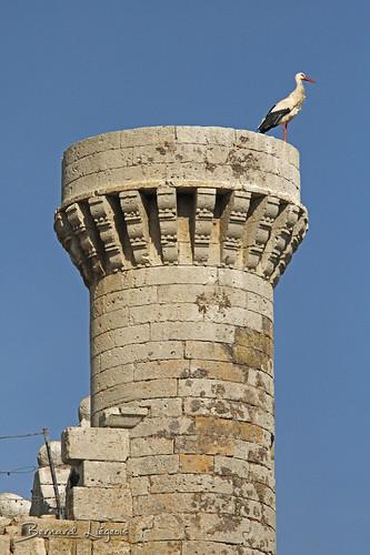 Ciconia ciconia Cigogne blanche White Stork Cigüeña Común Weißstorch