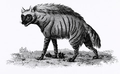 Striped Hyena from Zoological lectures delivered at the Royal institution in the years 1806-7 illustrated by George Shaw (1751-1813).