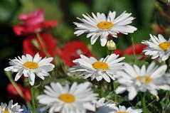 Ромашковая россыпь (Daisies, daisies, daisies)