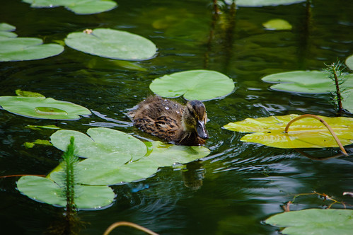 Mallard duckling among the lily leaves