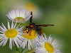 Photo:Potter wasp (Rhynchium quinquecinctum,チフカイドロバ) By Greg Peterson in Japan