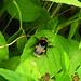 Bee resting:  21.6.18.