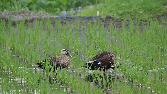 Spot-billed ducks feeding in rice field