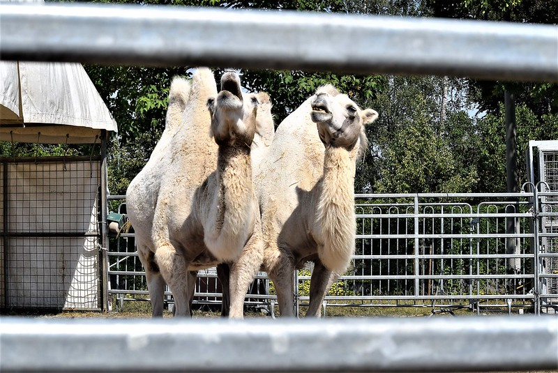Camel Dromedary 07.08 (7)