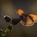 Großes Ochsenauge (Meadow brown) by tzim76