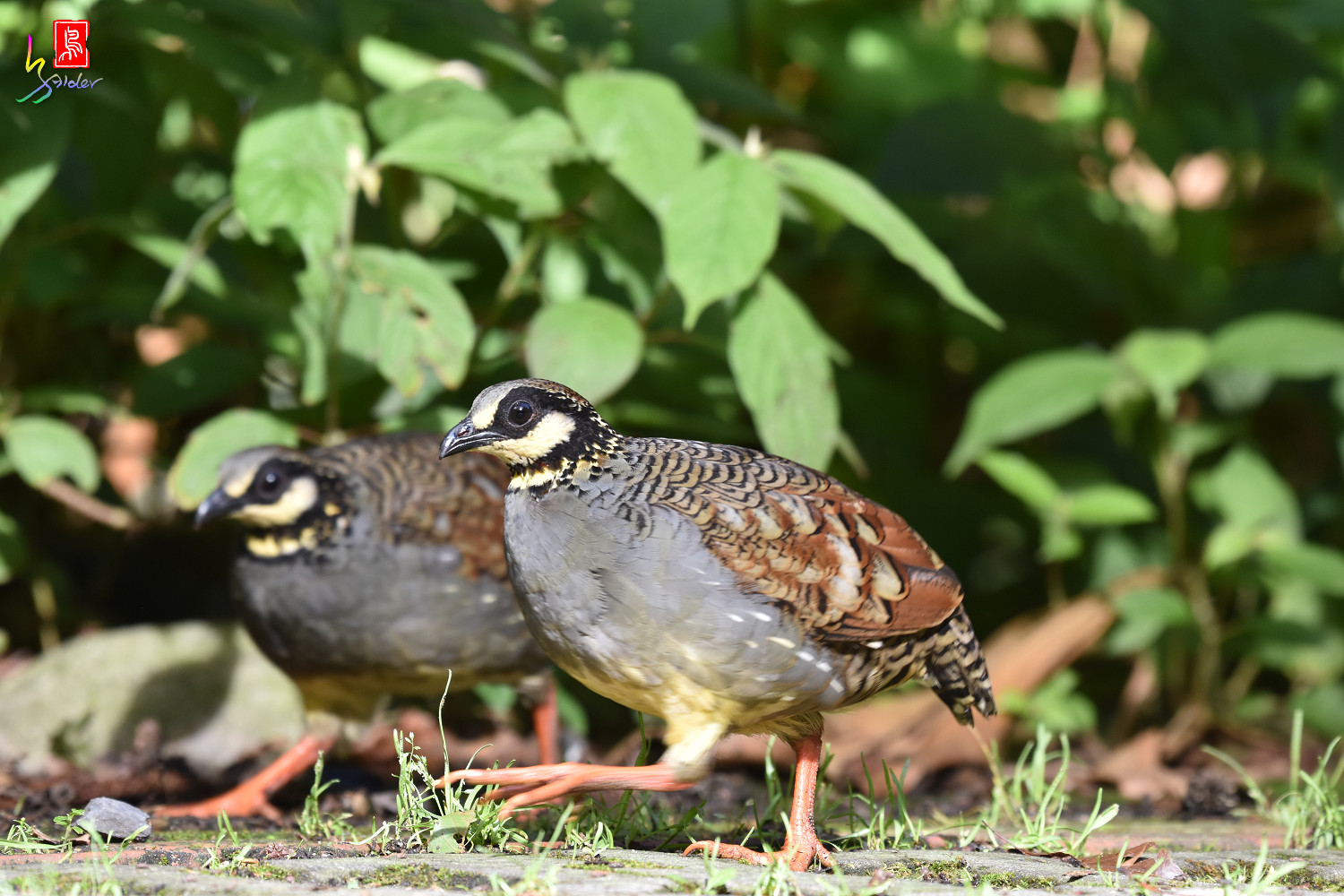 Taiwan_Hill_Partridge_5709