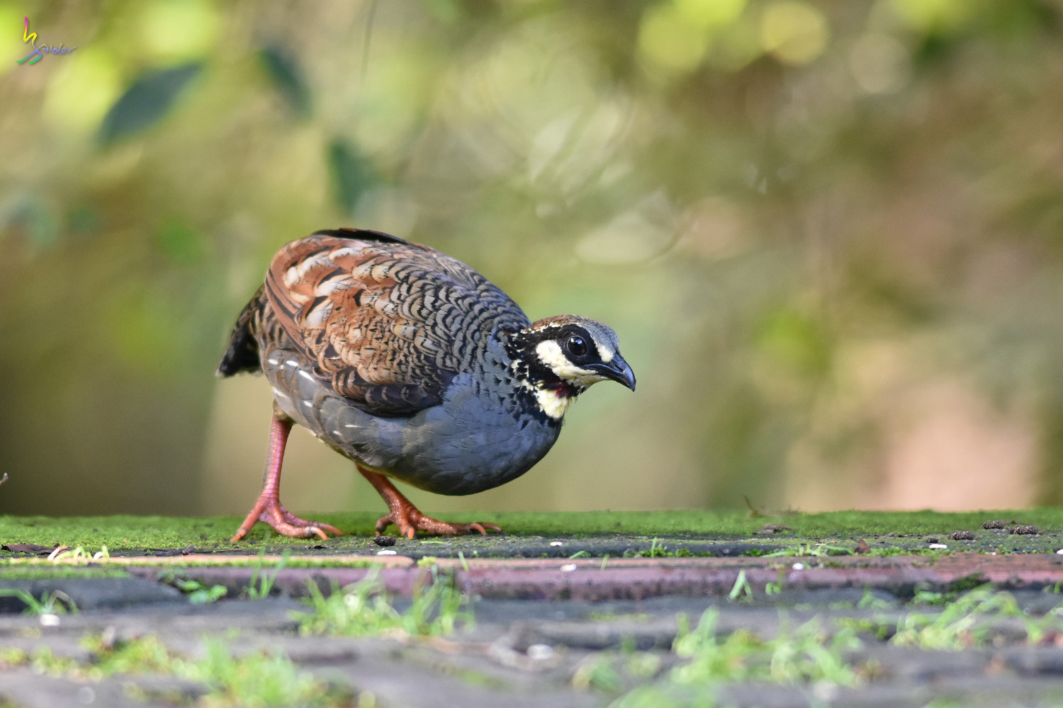 Taiwan_Hill_Partridge_0723