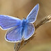 Common Blue (m)