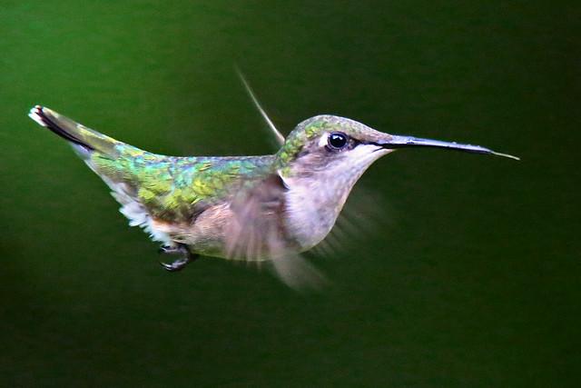 Hummingbird-176w