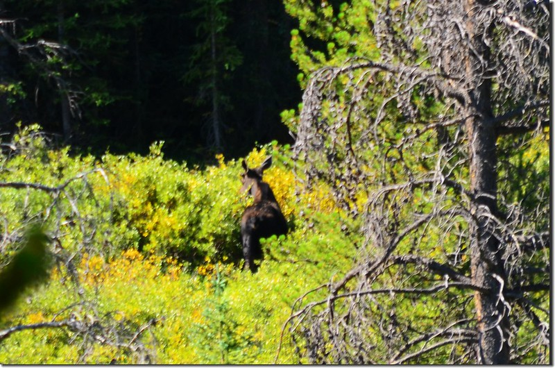 Moose at Indian Peaks Wilderness  2
