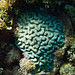 Corail pseudo cerveau