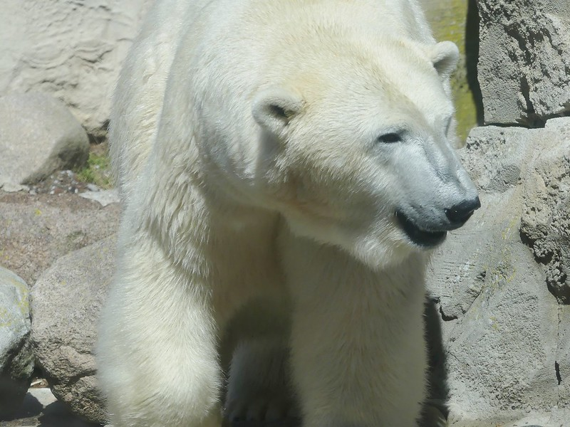 Polar Bear Valeska