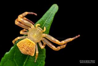 Crab spider (Cyriogonus sp.) - DSC_6793